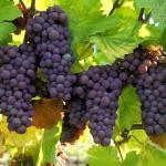 Vineyard Grapes Square Pic